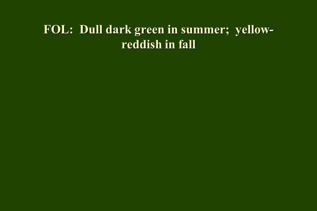 FOL: Dull dark green in summer; yellow- reddish in fall