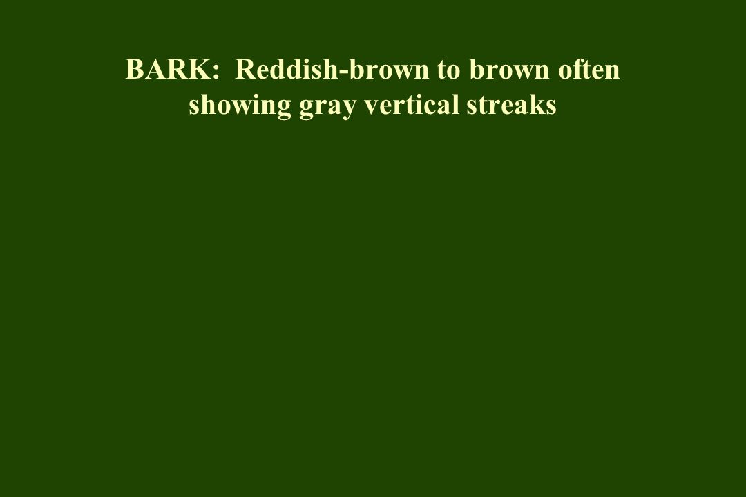 BARK: Reddish-brown to brown often showing gray vertical streaks