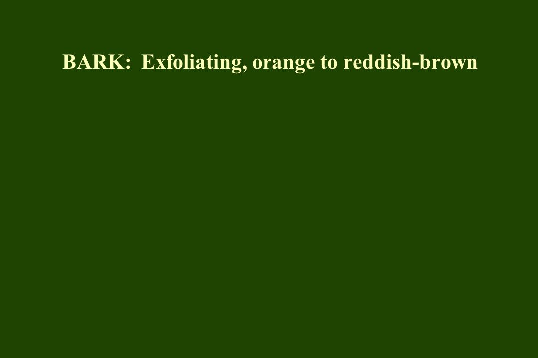 BARK: Exfoliating, orange to reddish-brown