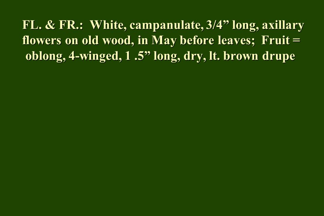 """FL. & FR.: White, campanulate, 3/4"""" long, axillary flowers on old wood, in May before leaves; Fruit = oblong, 4-winged, 1.5"""" long, dry, lt. brown drup"""