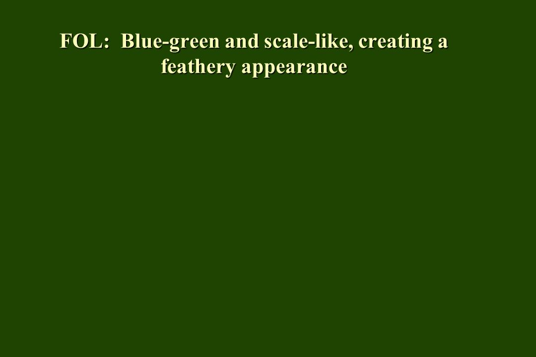 FOL: Blue-green and scale-like, creating a feathery appearance