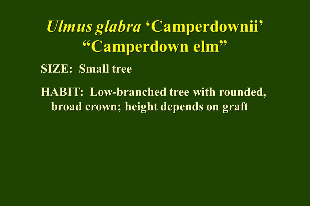 Ulmus glabra 'Camperdownii' Camperdown elm SIZE: Small tree HABIT: Low-branched tree with rounded, broad crown; height depends on graft