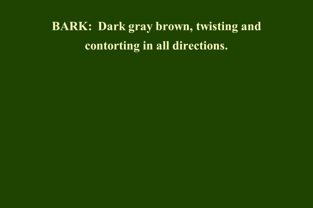 BARK: Dark gray brown, twisting and contorting in all directions.