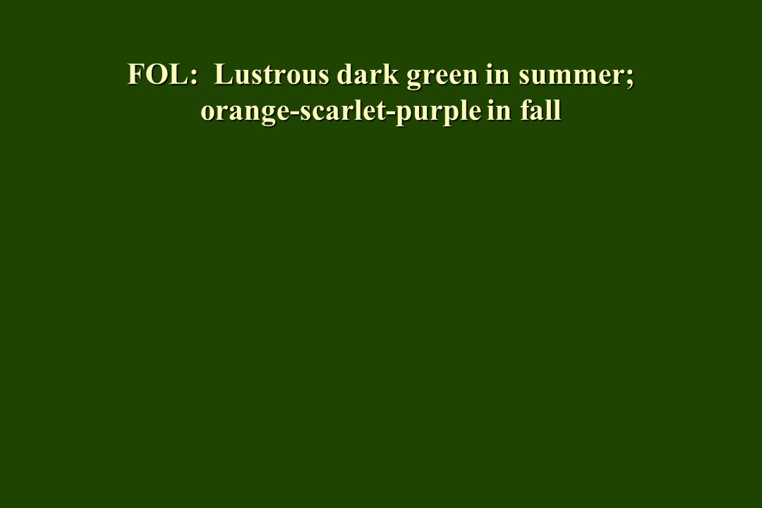 FOL: Lustrous dark green in summer; orange-scarlet-purple in fall