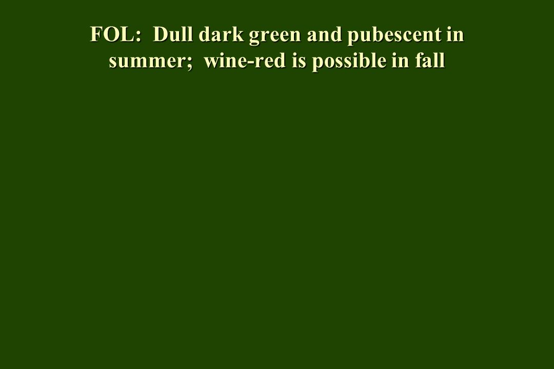 FOL: Dull dark green and pubescent in summer; wine-red is possible in fall