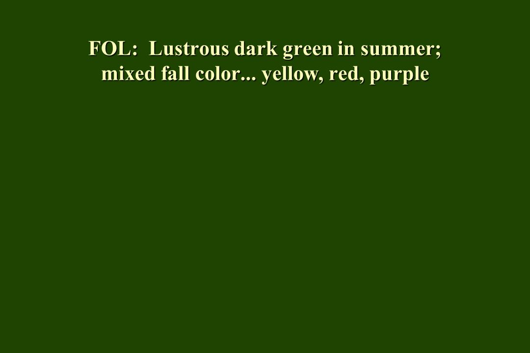 FOL: Lustrous dark green in summer; mixed fall color... yellow, red, purple