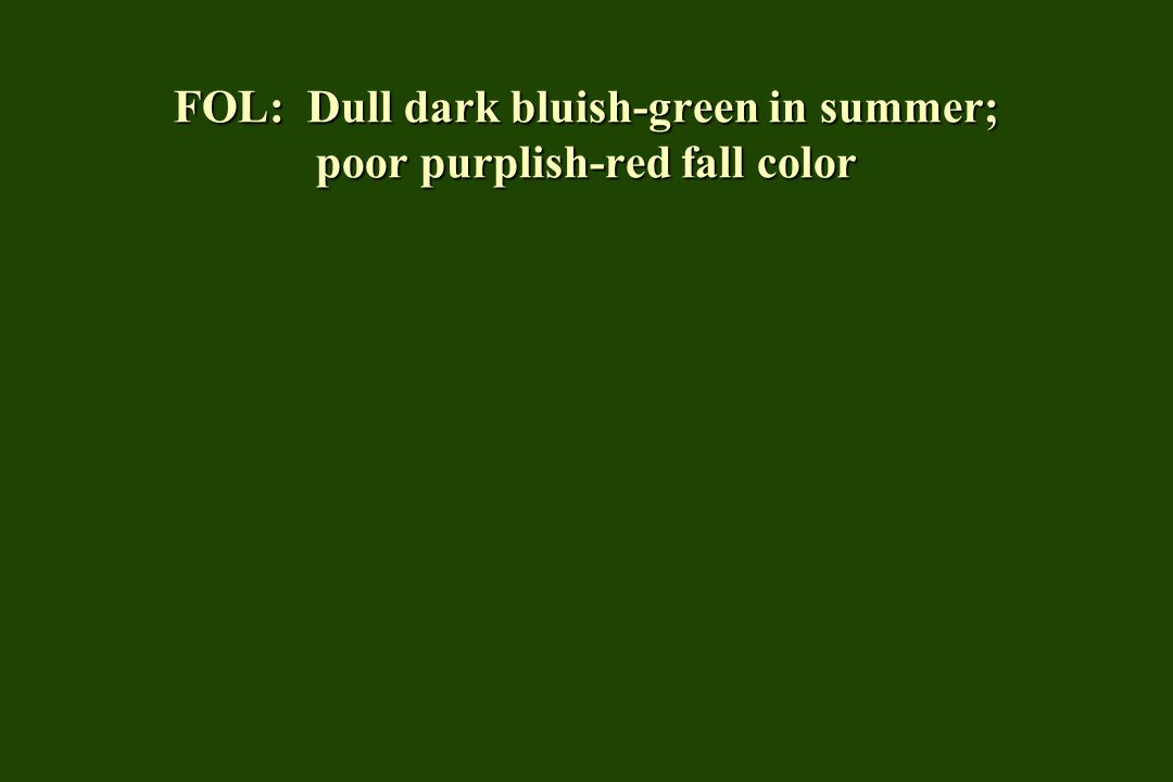 FOL: Dull dark bluish-green in summer; poor purplish-red fall color