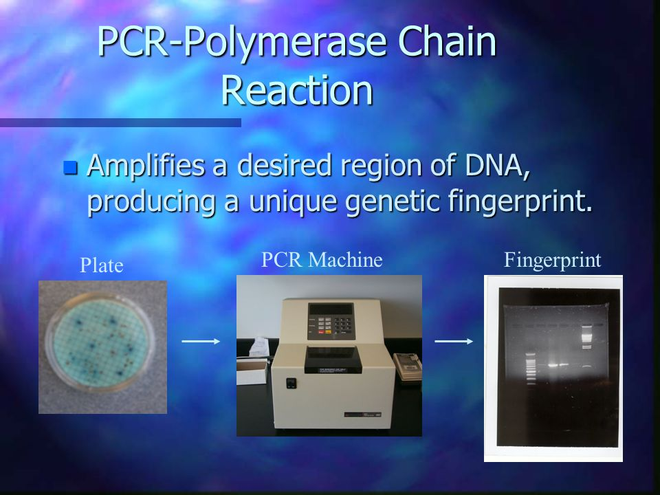 PCR-Polymerase Chain Reaction n Amplifies a desired region of DNA, producing a unique genetic fingerprint.