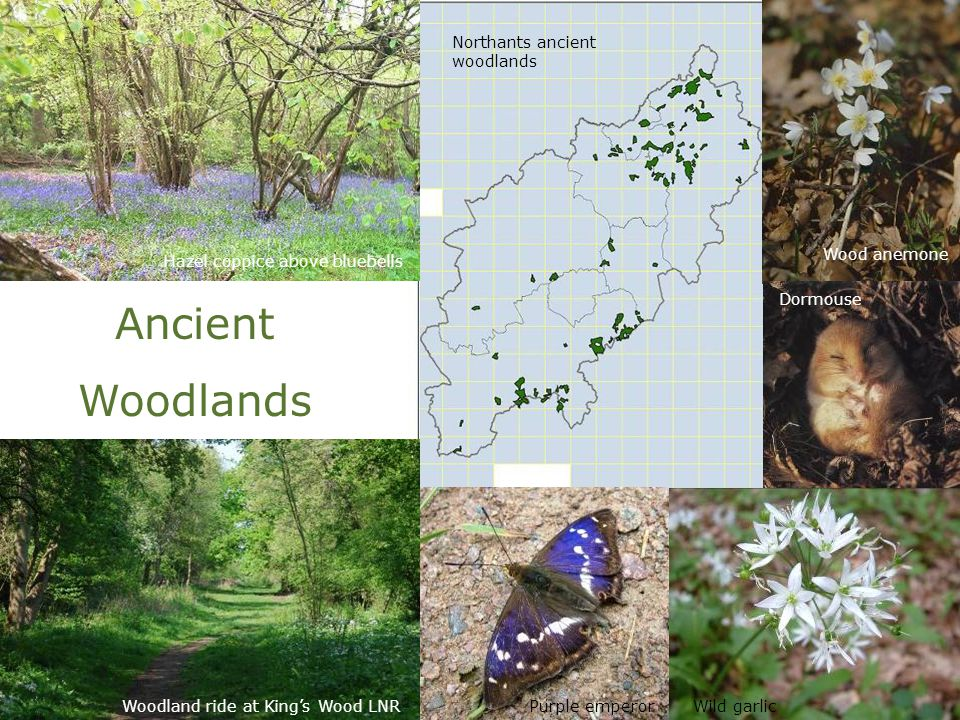 Ancient Woodlands Hazel coppice above bluebells Woodland ride at King's Wood LNR Wood anemone Dormouse Purple emperorWild garlic Northants ancient woo