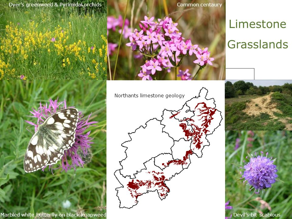 Limestone Grasslands Dyer's greenweed & Pyrimidal orchids Marbled white butterfly on black knapweedDevil's-bit scabious Common centaury Northants limestone geology