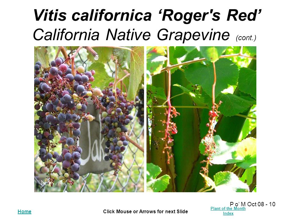 HomeClick Mouse or Arrows for next Slide Plant of the Month Index P o' M Oct 08 - 10 Vitis californica 'Roger's Red' California Native Grapevine (cont