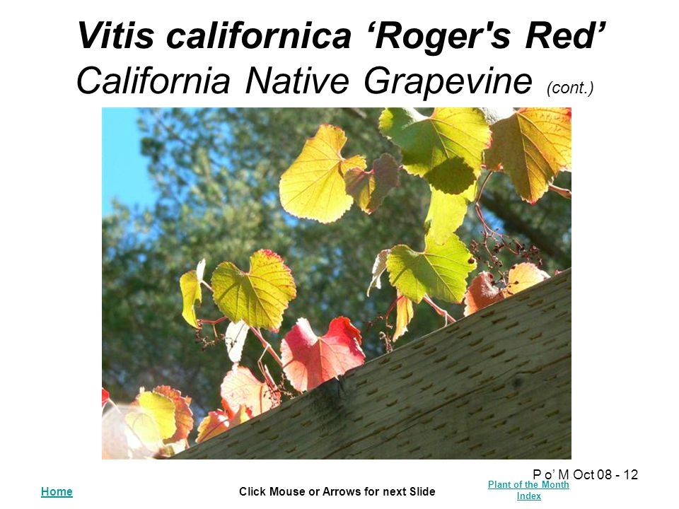 HomeClick Mouse or Arrows for next Slide Plant of the Month Index P o' M Oct 08 - 12 Vitis californica 'Roger s Red' California Native Grapevine (cont.)