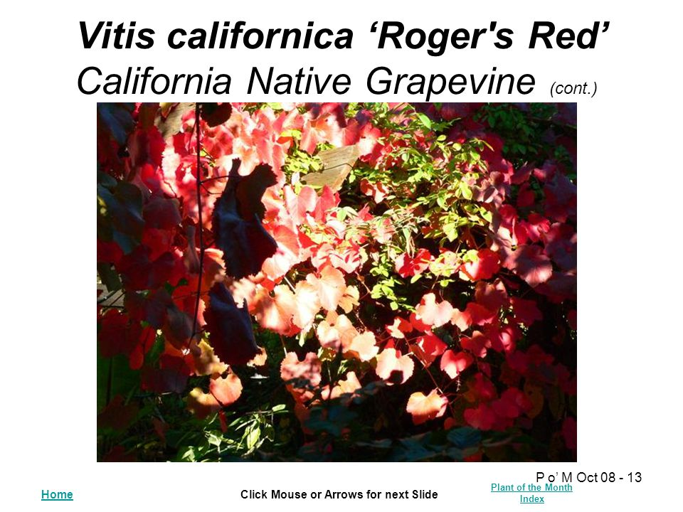HomeClick Mouse or Arrows for next Slide Plant of the Month Index P o' M Oct 08 - 13 Vitis californica 'Roger s Red' California Native Grapevine (cont.)