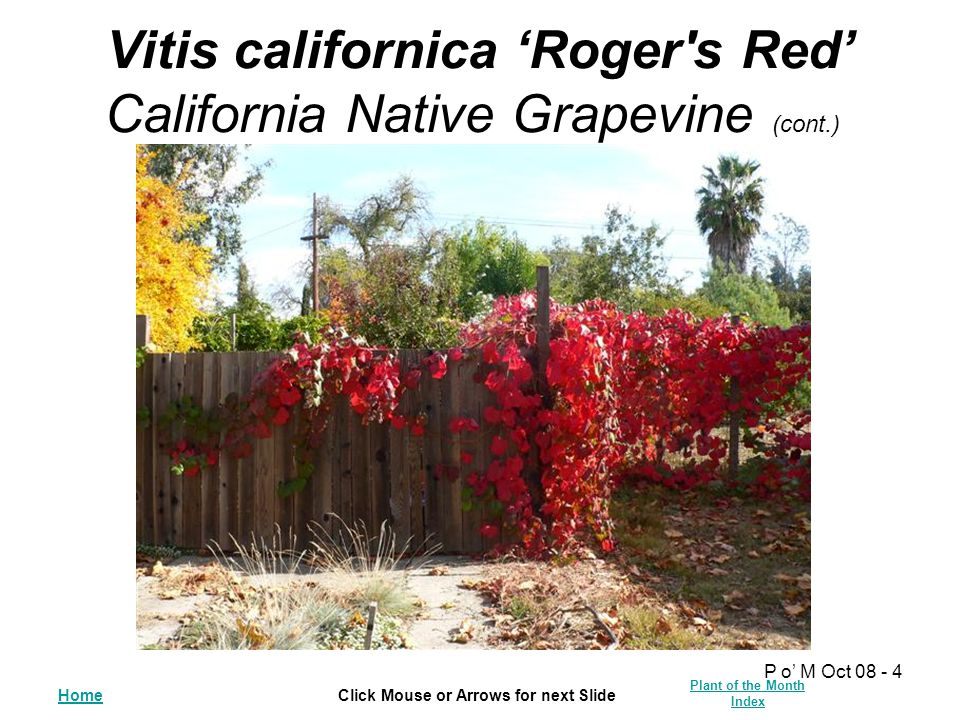 HomeClick Mouse or Arrows for next Slide Plant of the Month Index P o' M Oct 08 - 4 Vitis californica 'Roger s Red' California Native Grapevine (cont.)