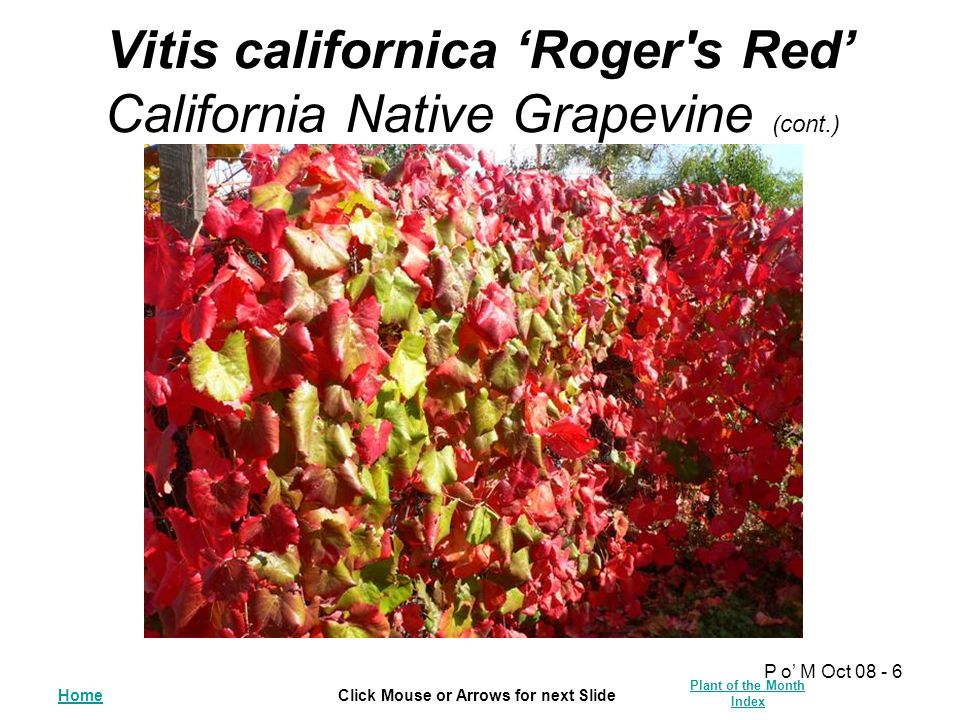 HomeClick Mouse or Arrows for next Slide Plant of the Month Index P o' M Oct 08 - 6 Vitis californica 'Roger's Red' California Native Grapevine (cont.