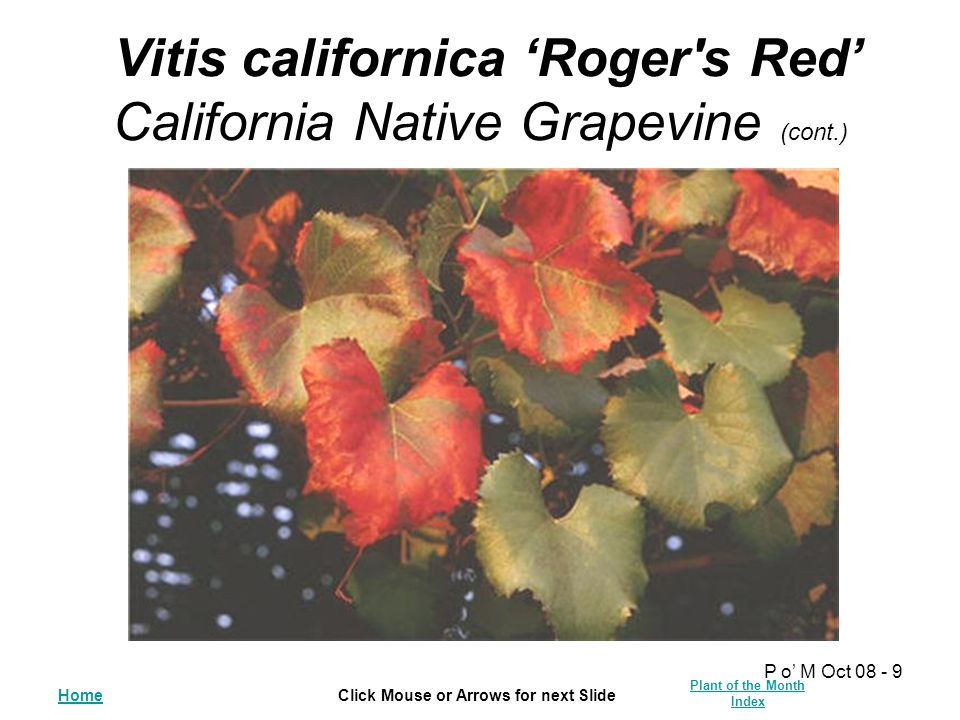 HomeClick Mouse or Arrows for next Slide Plant of the Month Index P o' M Oct 08 - 9 Vitis californica 'Roger's Red' California Native Grapevine (cont.