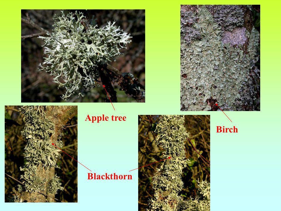 Apple tree Birch Blackthorn