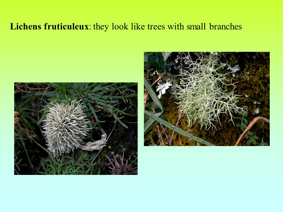 Lichens fruticuleux: they look like trees with small branches
