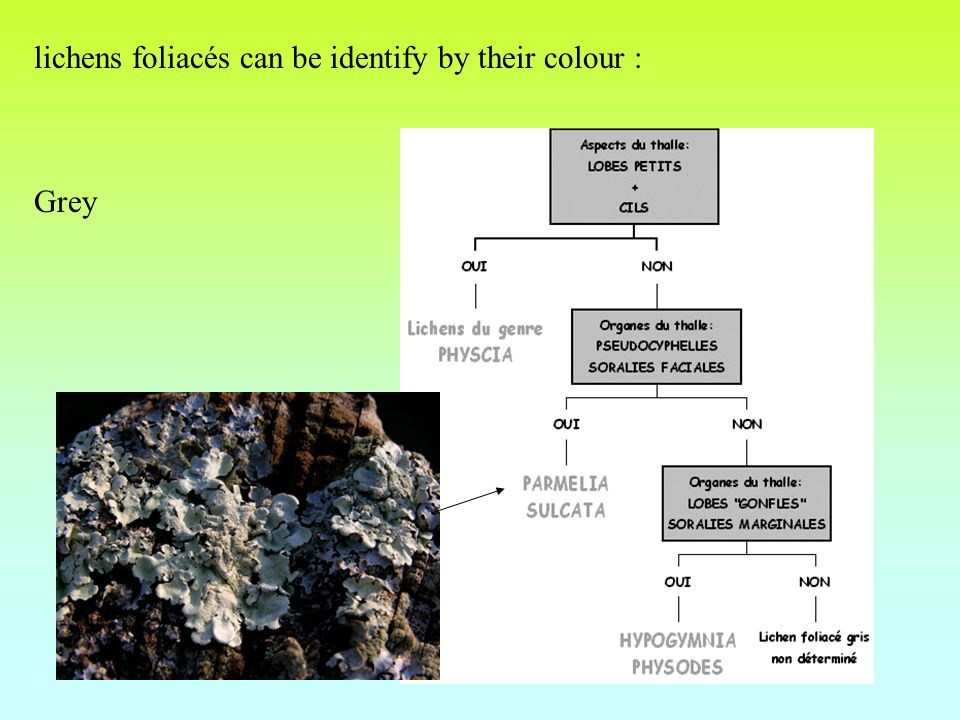 lichens foliacés can be identify by their colour : Grey