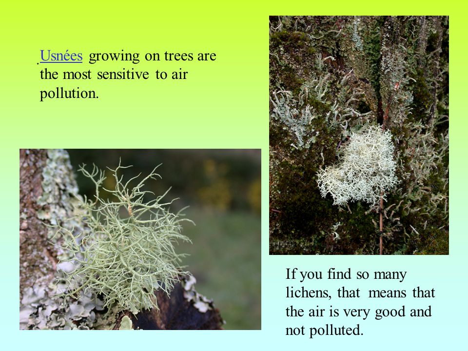 . Usnées growing on trees are the most sensitive to air pollution. If you find so many lichens, that means that the air is very good and not polluted.