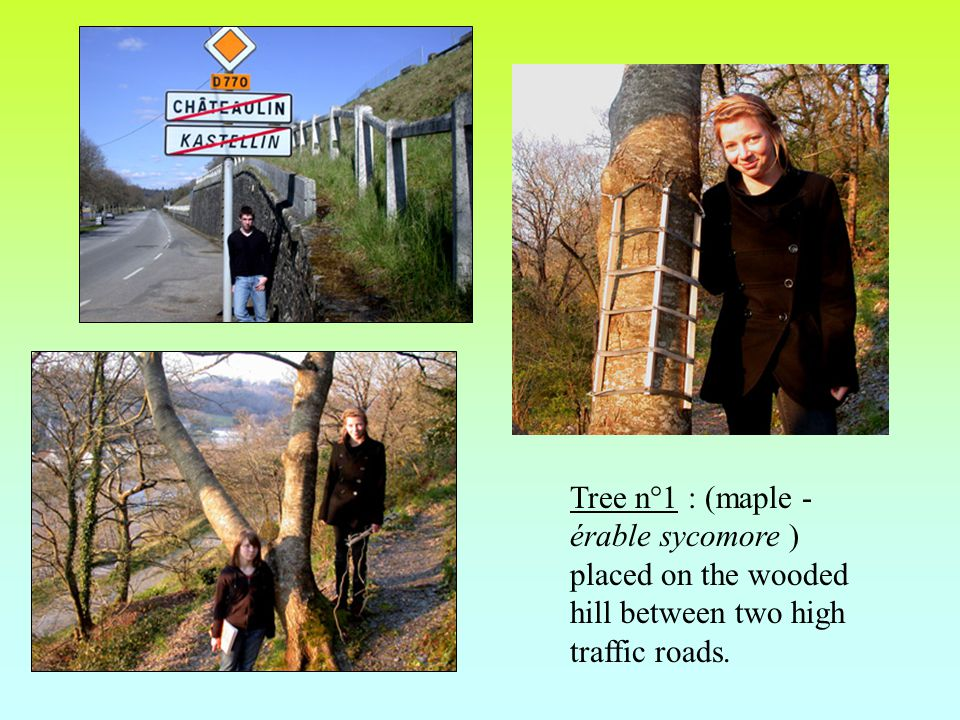 Tree n°1 : (maple - érable sycomore ) placed on the wooded hill between two high traffic roads.