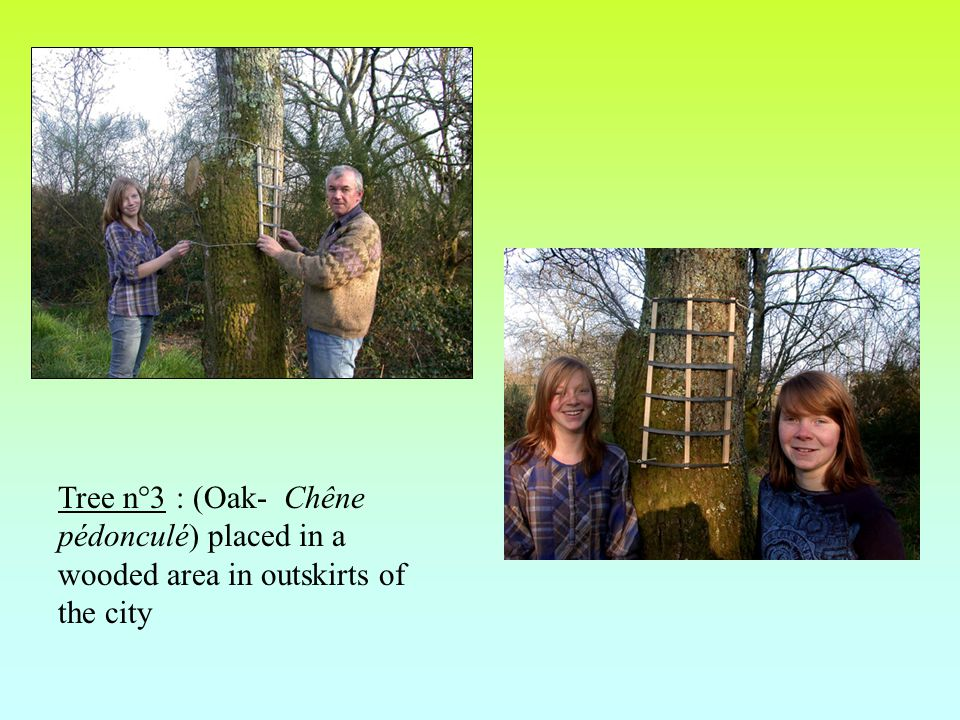 Tree n°3 : (Oak- Chêne pédonculé) placed in a wooded area in outskirts of the city