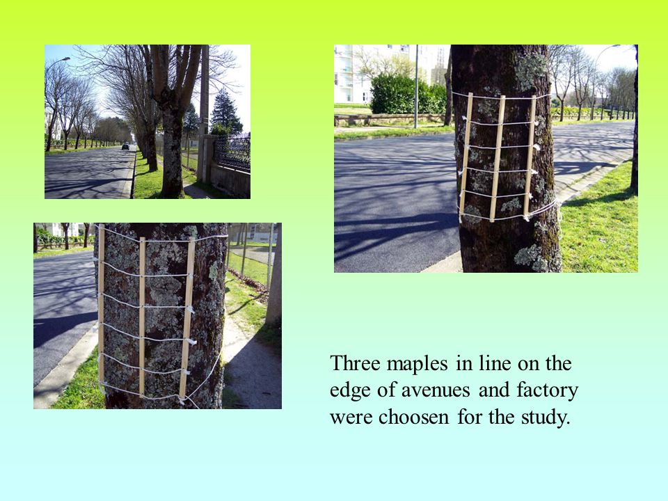 Three maples in line on the edge of avenues and factory were choosen for the study.