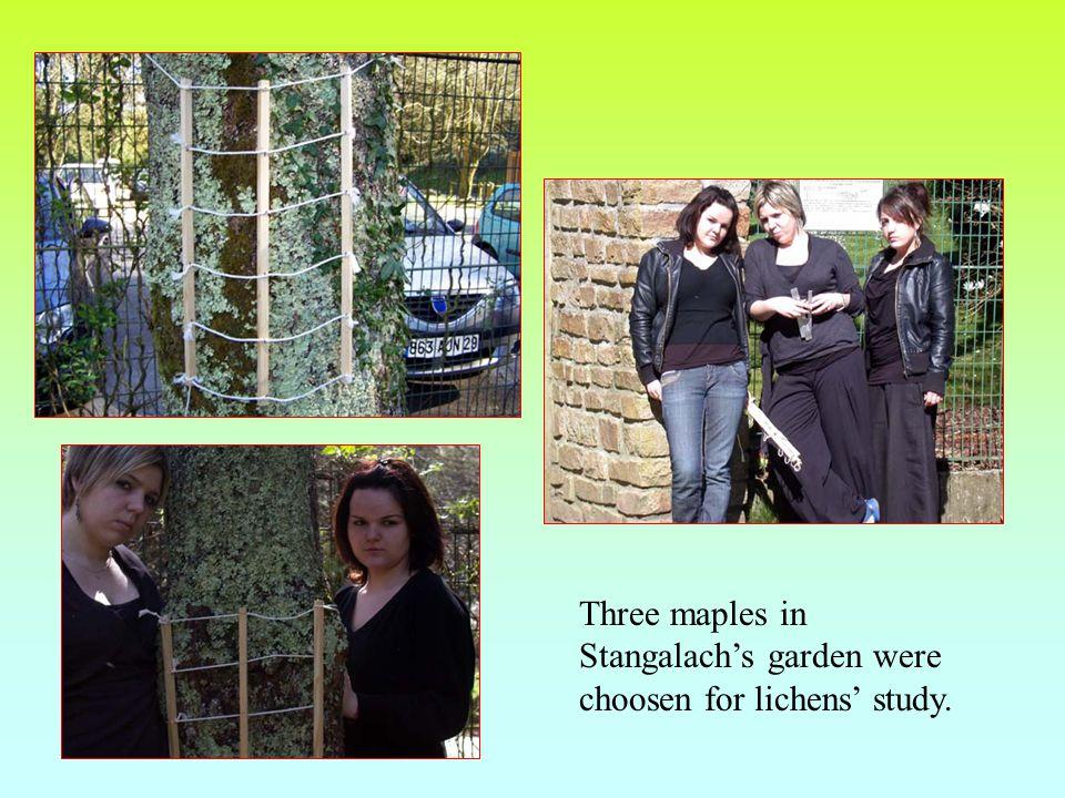 Three maples in Stangalach's garden were choosen for lichens' study.
