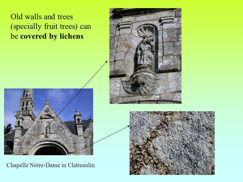 Old walls and trees (specially fruit trees) can be covered by lichens Chapelle Notre-Dame in Châteaulin
