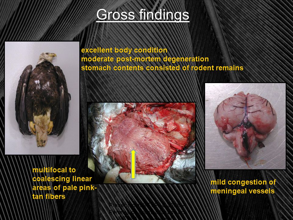 Gross findings excellent body condition moderate post-mortem degeneration stomach contents consisted of rodent remains multifocal to coalescing linear areas of pale pink- tan fibers mild congestion of meningeal vessels Presented at SEVPAC 2008 – Permission granted for use on SEVPAC website only