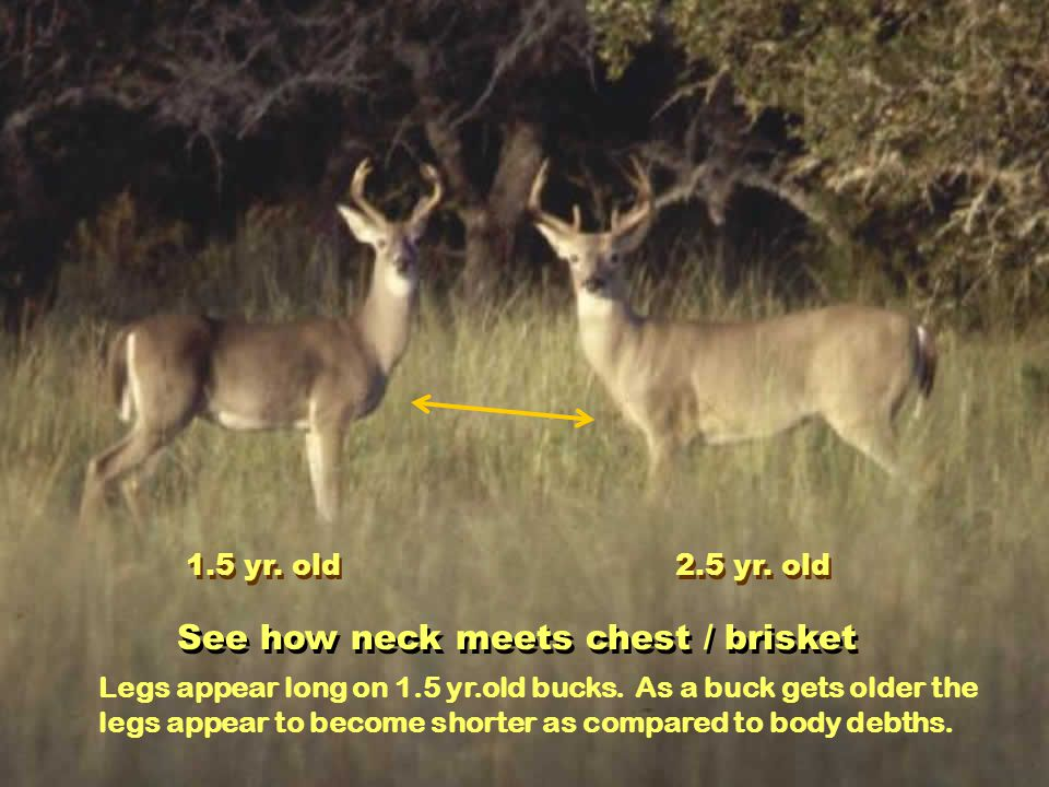 South Texas Hill Country Profile showing thickness of head – forehead to jaw on mature buck
