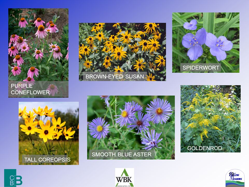 19 GOLDENROD PURPLE CONEFLOWER BROWN-EYED SUSAN TALL COREOPSIS SPIDERWORT SMOOTH BLUE ASTER