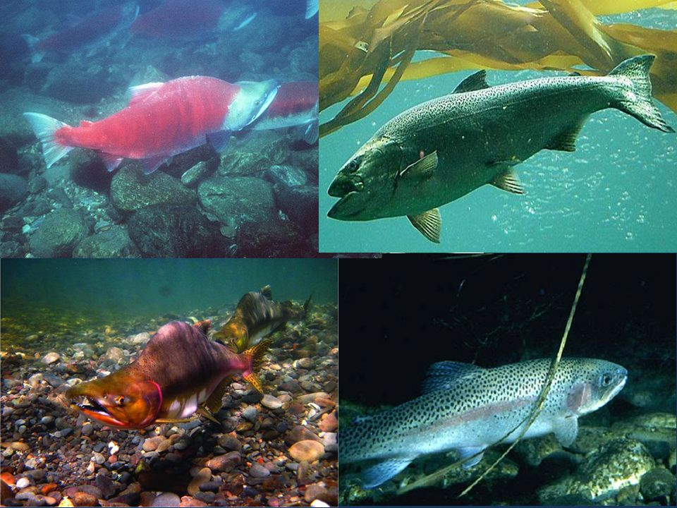 round and thread herring, mesopelagic fishes, Pacific sandlance, Pacific saury, Silversides, Osmerid smelts, and Pelagic squids (with the exception of Humboldt squid)