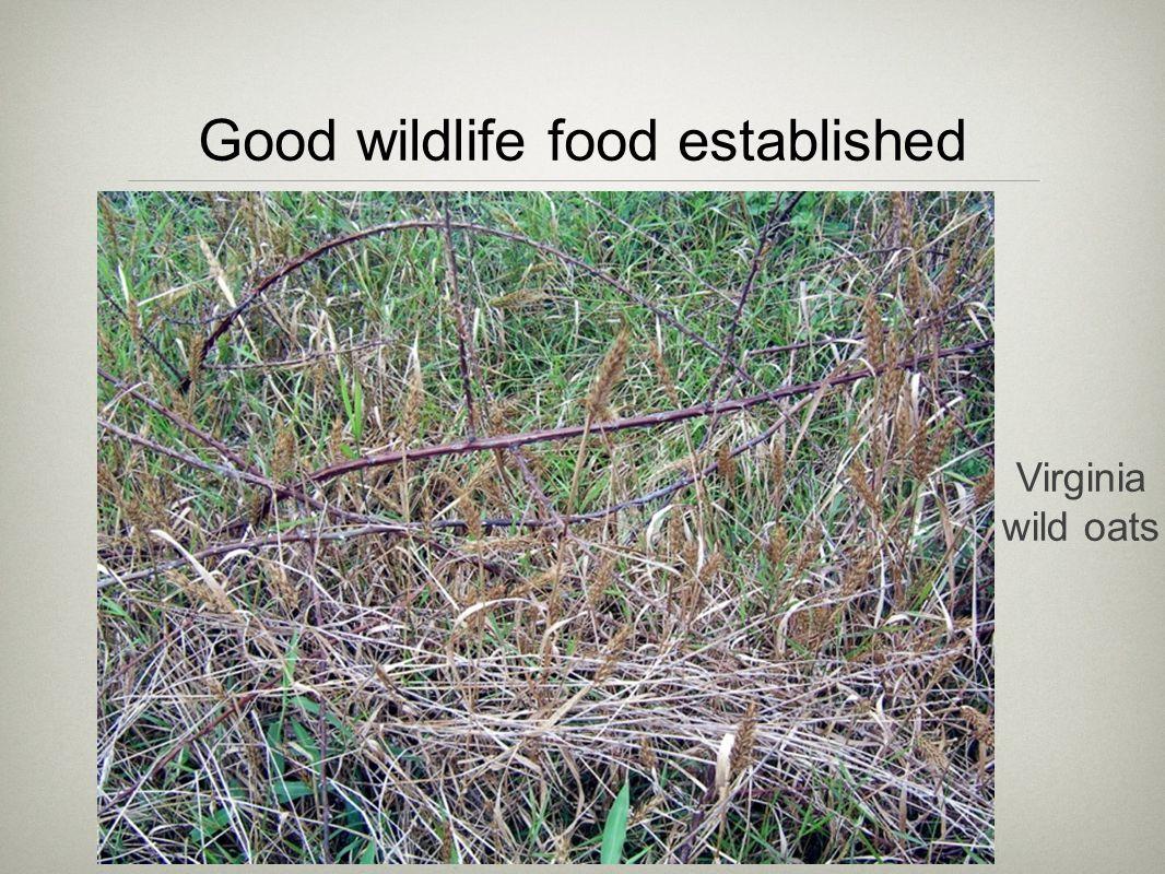 Good wildlife food established Virginia wild oats