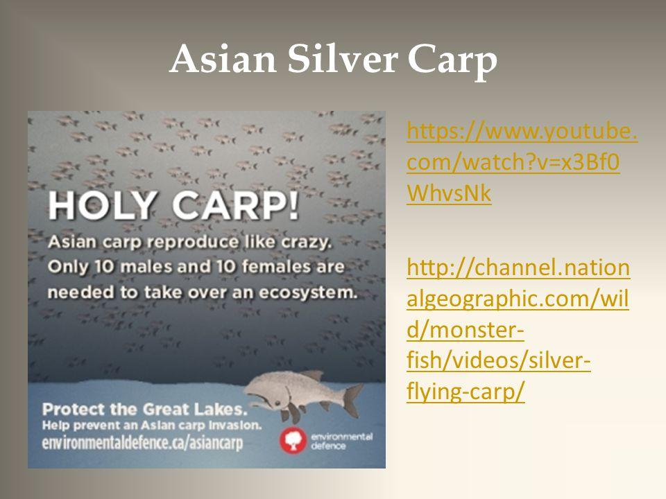 Asian Silver Carp https://www.youtube.