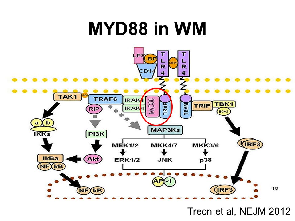 Molecular characteristics 30-50% of patients: deletion 6q by FISH BLIMP (on 6q21): a tumor-suppressor gene, is the master gene regulator for B-lymphocytic cell proliferation.