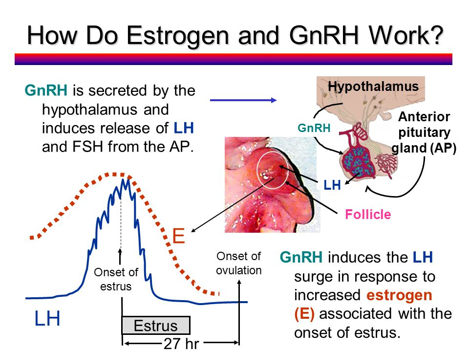 How Do Estrogen and GnRH Work.