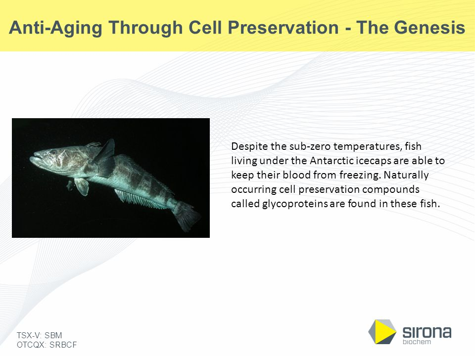 TSX-V: SBM OTCQX: SRBCF Anti-Aging Through Cell Preservation - The Genesis Despite the sub-zero temperatures, fish living under the Antarctic icecaps
