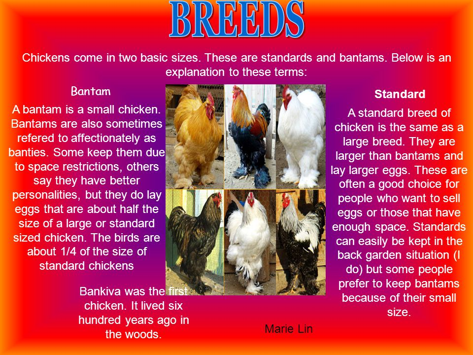 A bantam is a small chicken. Bantams are also sometimes refered to affectionately as banties.
