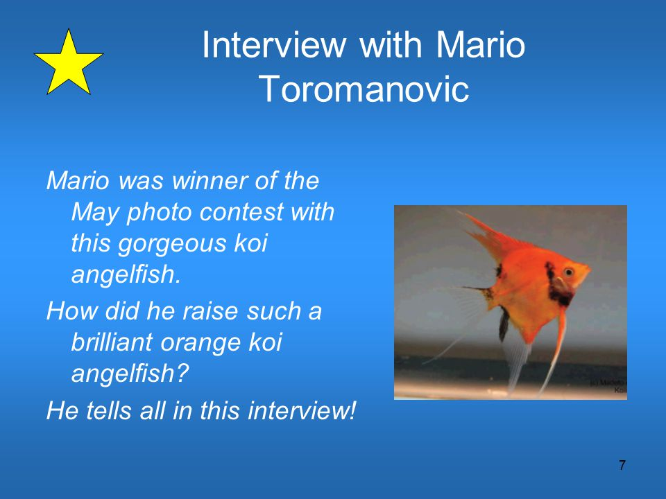 7 Interview with Mario Toromanovic Mario was winner of the May photo contest with this gorgeous koi angelfish. How did he raise such a brilliant orang
