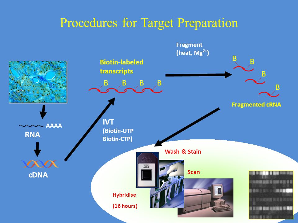 Procedures for Target Preparation cDNA Wash & Stain Scan Hybridise (16 hours) RNA AAAA BBBB Biotin-labeled transcripts Fragment (heat, Mg 2+ ) Fragmented cRNA B B B B IVT (Biotin-UTP Biotin-CTP)