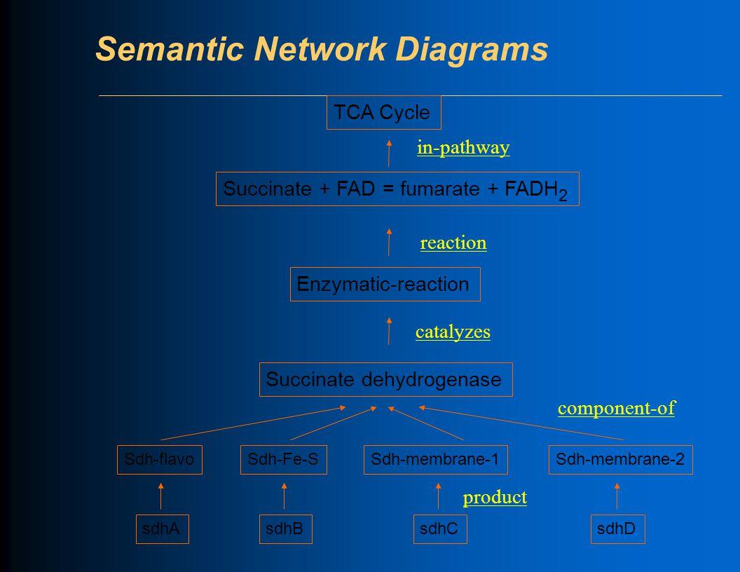 Semantic Network Diagrams Sdh-flavoSdh-Fe-SSdh-membrane-1Sdh-membrane-2 sdhA sdhB sdhCsdhD Succinate + FAD = fumarate + FADH 2 Enzymatic-reaction Succinate dehydrogenase TCA Cycle productcomponent-ofcatalyzesreactionin-pathway