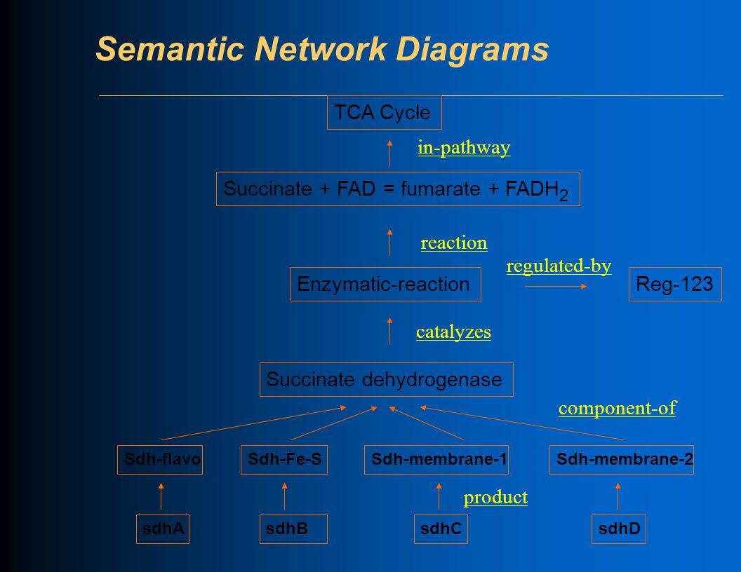 Semantic Network Diagrams Sdh-flavoSdh-Fe-SSdh-membrane-1Sdh-membrane-2 sdhA sdhB sdhCsdhD Succinate + FAD = fumarate + FADH 2 Enzymatic-reaction Succinate dehydrogenase TCA Cycle productcomponent-ofcatalyzesreactionin-pathway Reg-123 regulated-by