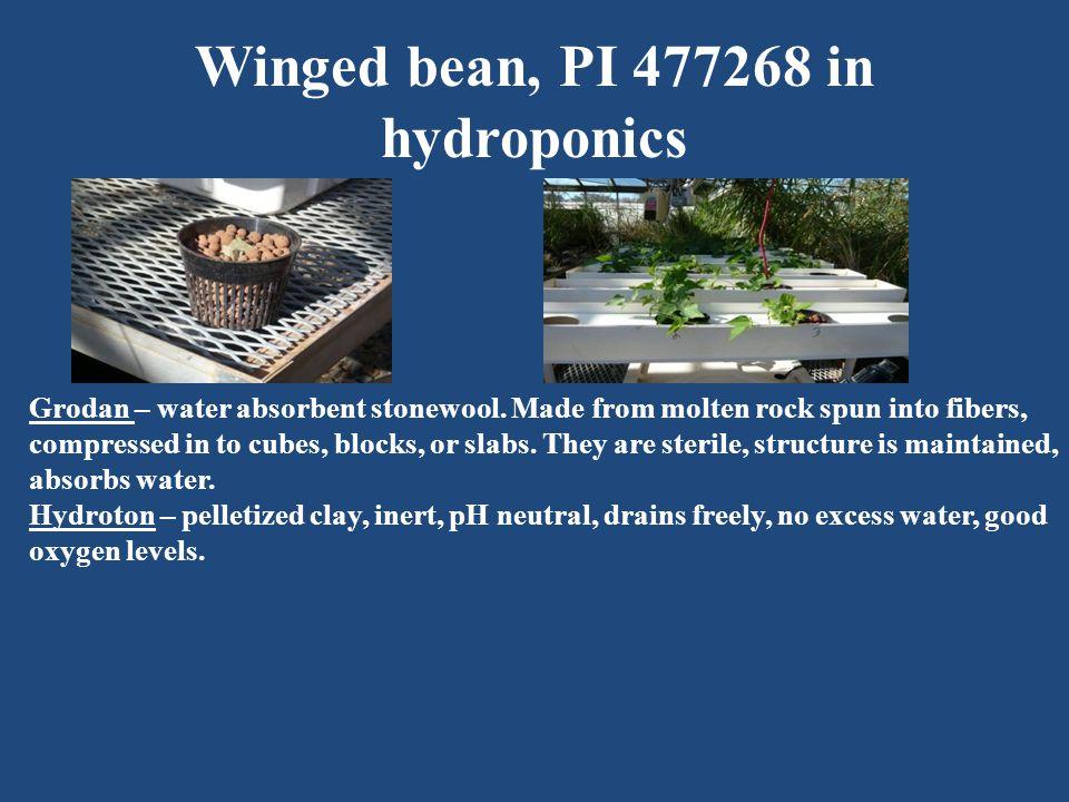 Winged bean, PI 477268 in hydroponics Grodan – water absorbent stonewool.
