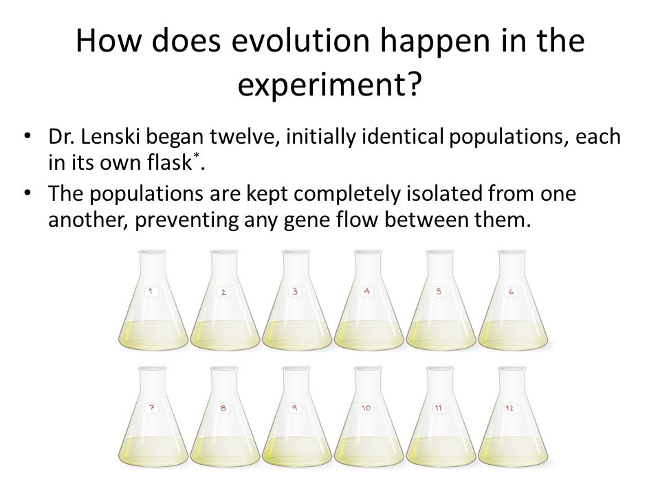 How does evolution happen in the experiment? Dr. Lenski began twelve, initially identical populations, each in its own flask *. The populations are ke