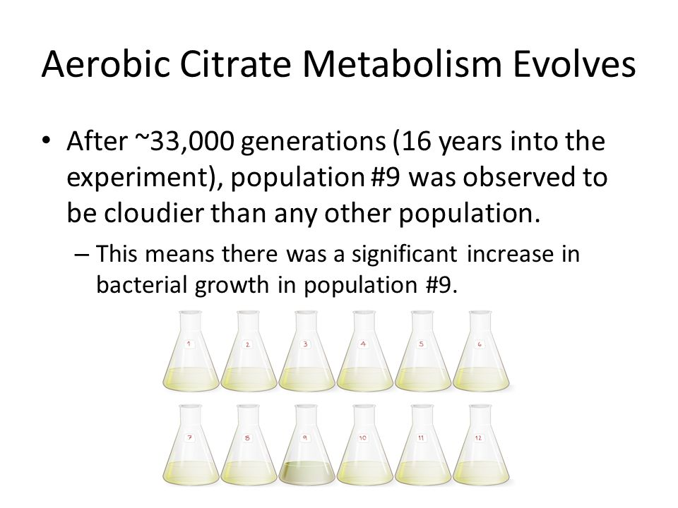 Aerobic Citrate Metabolism Evolves After ~33,000 generations (16 years into the experiment), population #9 was observed to be cloudier than any other