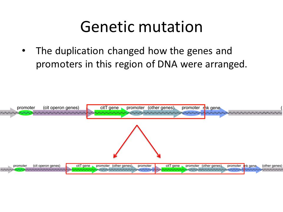 The duplication changed how the genes and promoters in this region of DNA were arranged. Genetic mutation