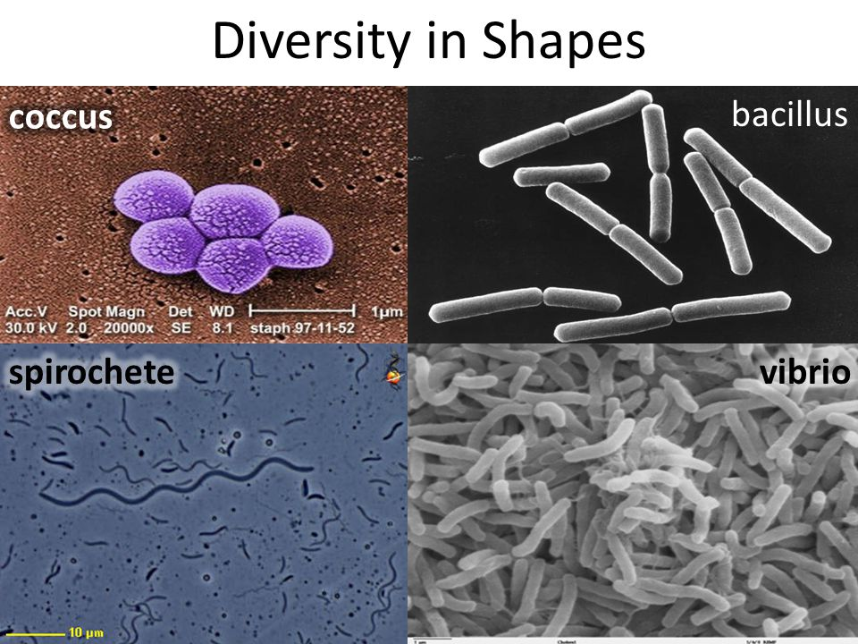 Diversity in Shapes bacillus