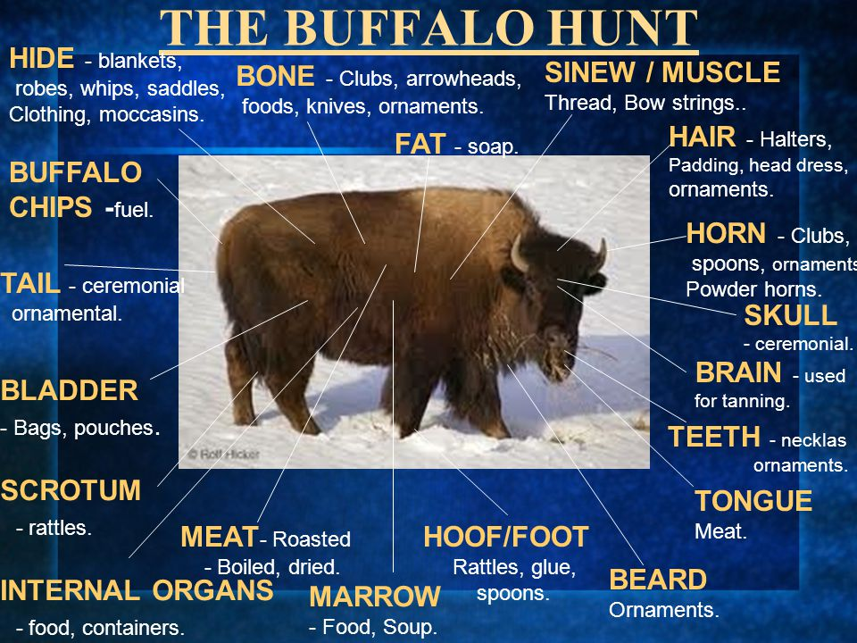 THE BUFFALO HUNT HIDE - blankets, robes, whips, saddles, Clothing, moccasins. BUFFALO CHIPS - fuel. TAIL - ceremonial ornamental. BLADDER - Bags, pouc