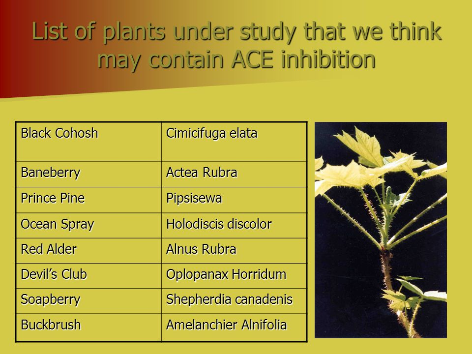 List of plants under study that we think may contain ACE inhibition Black Cohosh Cimicifuga elata Baneberry Actea Rubra Prince Pine Pipsisewa Ocean Sp